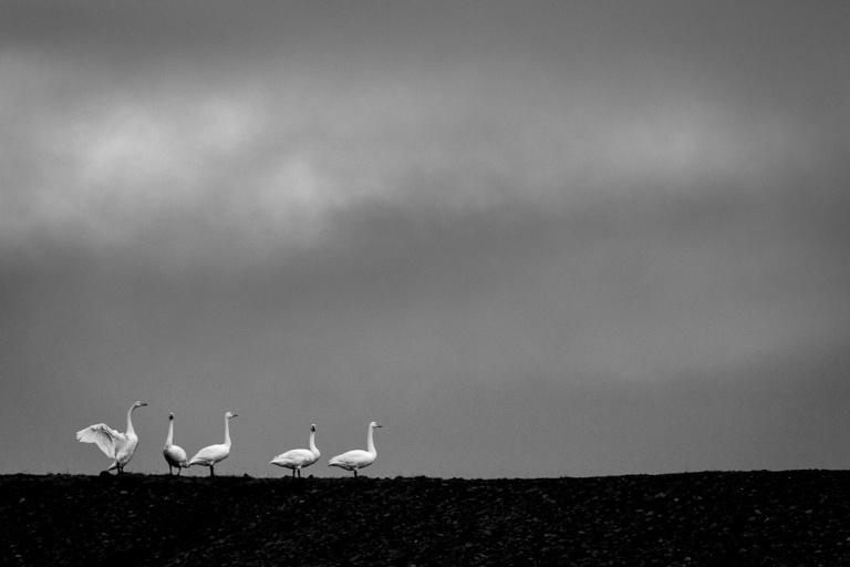 life of swan